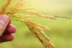 在绿色背景的水稻种子 免版税库存图片