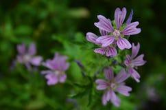在绿色背景的紫罗兰色花 免版税图库摄影