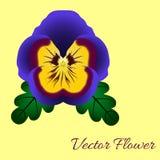 在黄色背景的紫罗兰 库存照片