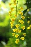 在绿色背景的黄色兰花 免版税库存图片