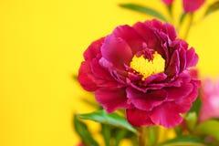 在黄色背景的紫色牡丹花 图库摄影