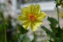 在绿色背景的黄色花百日菊属 免版税图库摄影