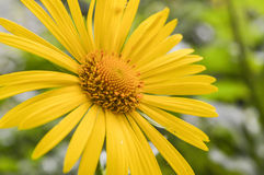 在绿色背景的黄色雏菊花特写镜头 免版税库存照片