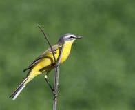 在绿色背景的黄色令科之鸟 免版税库存照片