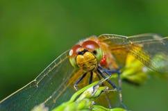在绿色背景的蜻蜓画象 免版税库存照片