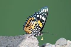 在绿色背景的蝴蝶 库存图片