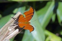 在绿色背景的巴西橙色蝴蝶 库存照片