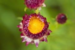 在绿色背景的Strawflower 免版税图库摄影