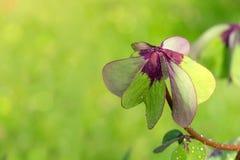 在绿色背景隔绝的四片叶子三叶草 免版税库存图片