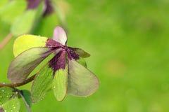 在绿色背景隔绝的四片叶子三叶草 库存照片