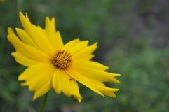 在绿色背景隔绝的黄色花 免版税库存图片