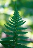 在绿色背景(拉特的蕨叶子 Polypodià ³ phyta) Vertic 库存图片
