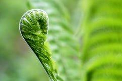 在绿色背景(拉特的蕨叶子 Polypodiophyta) 免版税库存图片