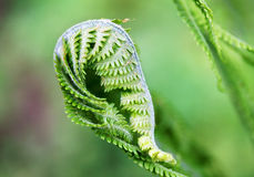 在绿色背景(拉特的蕨叶子 Polypodiophyta) 免版税库存照片