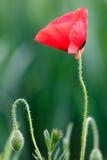 在绿色自然本底的红色鸦片花 免版税库存图片