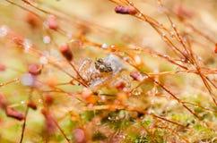 在绿色自然的跳跃的蜘蛛 免版税图库摄影