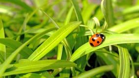 在绿色自然背景的瓢虫 免版税库存照片