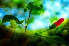 在庭院的红色木槿芽花 免版税图库摄影