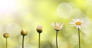 在绿色自然背景的雏菊 免版税库存图片