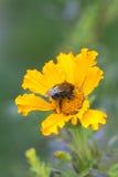 在黄色花万寿菊的土蜂 免版税图库摄影