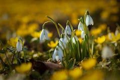 在黄色花之间的美好的snowdrops在f期间的草 免版税库存照片