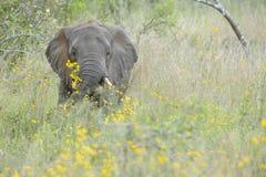 在黄色花之间的非洲大象 免版税库存图片