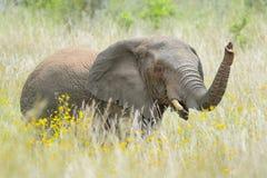 在黄色花之间的非洲大象 库存图片