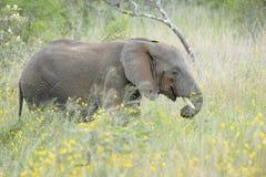 在黄色花之间的非洲大象 库存照片