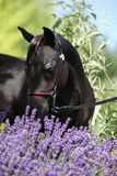 在紫色花后的黑微型马 库存照片