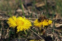在黄色花和一个的蜂更 图库摄影