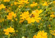 在黄色花田的蜂 免版税图库摄影