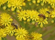 在黄色花的一只蜂与背景迷离 免版税图库摄影