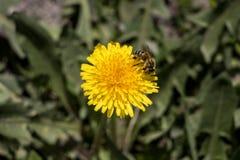 在黄色花的一只蜂 库存图片