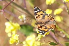 在黄色花的一只被绘的夫人蝴蝶 免版税图库摄影