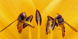 在黄色花的两hoverflies 免版税库存照片