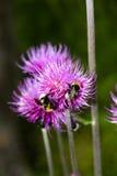 在紫色花的土蜂在森林里 免版税库存图片