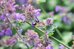 在紫色花的土蜂着陆 免版税库存照片