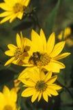 在黄色花的土蜂 免版税库存图片