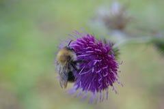 在紫色花的土蜂 免版税库存图片