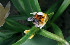 在黄色花的土蜂 图库摄影