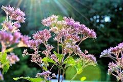 在紫色花的太阳光芒 免版税图库摄影