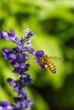 在紫色花的小的蜂 图库摄影