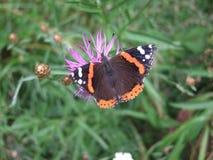 在紫色花的棕色蝴蝶 免版税图库摄影