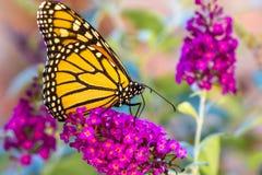 在紫色花的橙色Butterly 免版税图库摄影