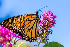 在紫色花的橙色Butterly 库存图片