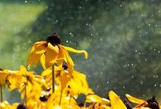 在黄色花的温暖的夏天雨下落 库存照片