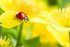 在黄色花的瓢虫 免版税库存图片