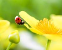 在黄色花的瓢虫 免版税图库摄影