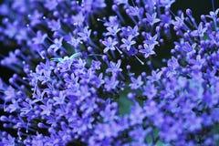 在紫色花的白色蜘蛛 图库摄影
