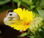 在黄色花的白色蝴蝶 免版税库存照片